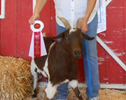 Jasper: 2012 Senior Champion Wether