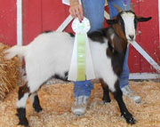 Peanut: 2012 Junior Champion Wether